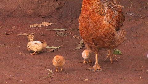 A group of baby chickens follow the mother hen around, pecking for food Footage