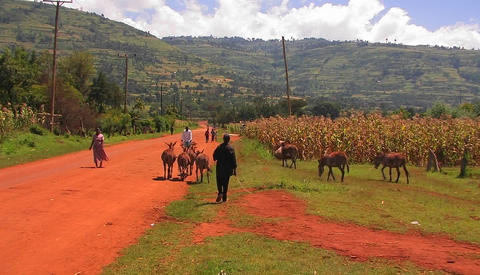 A man walks a small group of donkeys down a rural dirt road Footage