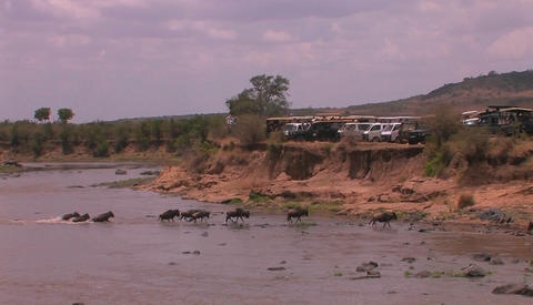 A herd of wildebeest cross a river watched by people parked on a ridge above Footage