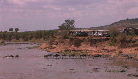A herd of wildebeest cross a river watched by people... Stock Video Footage