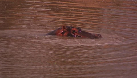 A hippo coming in and out of water Stock Video Footage