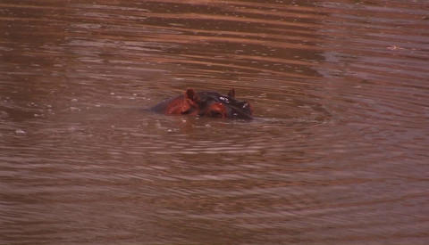 A hippo coming in and out of water Footage