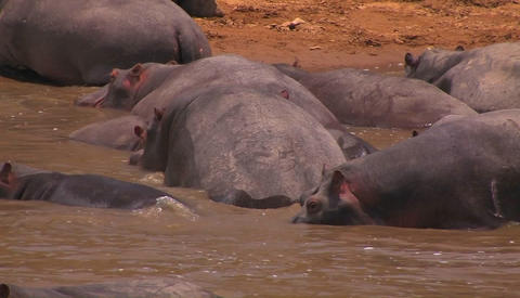 A group of hippos are gathered in a river Footage
