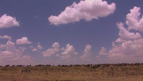 A herd of wildebeest roam an open plain Stock Video Footage