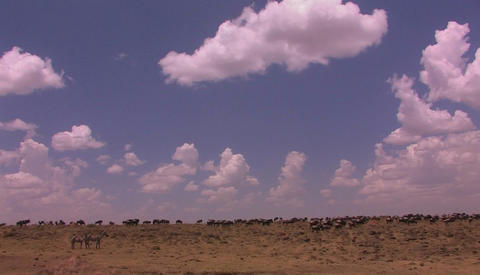 A herd of wildebeest roam an open plain Footage