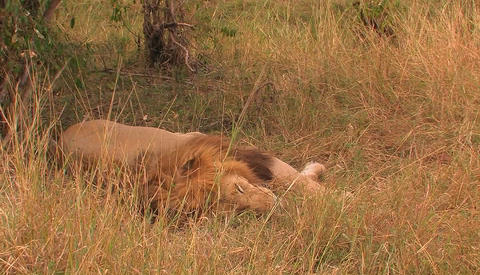 A lion lies in the grass, moves its mouth slightly and breathes quickly, as the grass is blown by th Live Action
