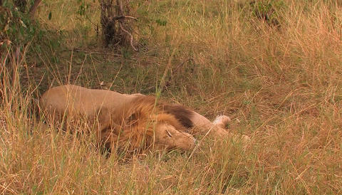 A lion lies in the grass, moves its mouth slightly and... Stock Video Footage