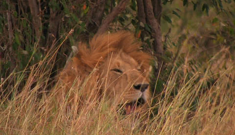 A lion rests in tall grass on a windy day Stock Video Footage