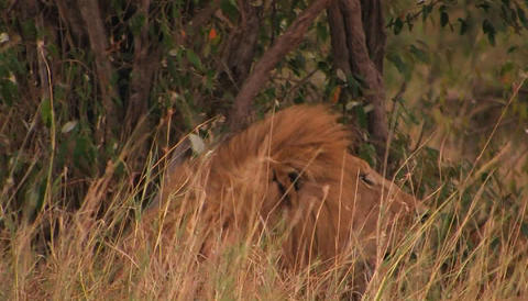 A lion rests in tall grass on a windy day Footage