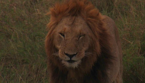 A lion pants in the wild Stock Video Footage