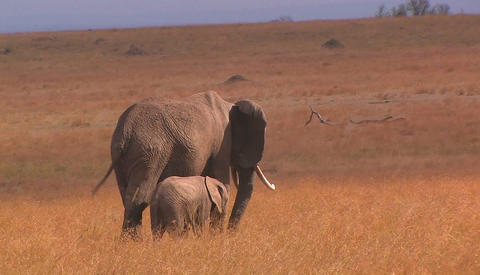 Two elephants eat tall grass in a field Stock Video Footage