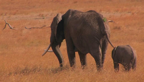 Mother and baby elephant in savanna in Africa Stock Video Footage