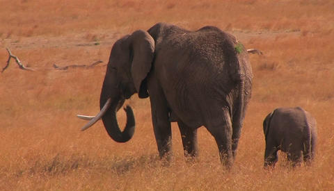 Mother and baby elephant in savanna in Africa Footage