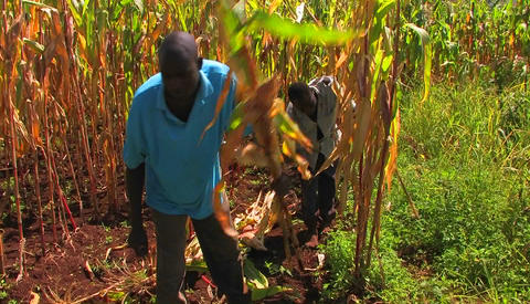 Men work in a cornfield chopping down the stalks Stock Video Footage