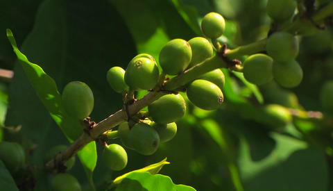A branch with green olives Footage