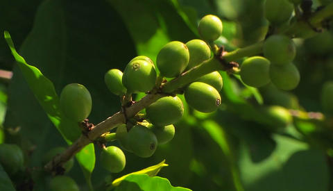 A branch with green olives Stock Video Footage