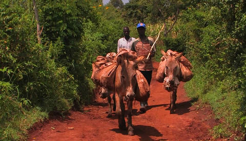 Two men walk three donkeys carrying backpacks through a grove of trees; one man keeps hitting the do Footage