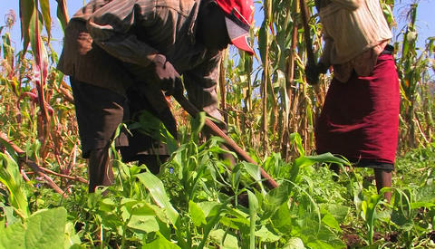 Two people tend crops in a field Stock Video Footage