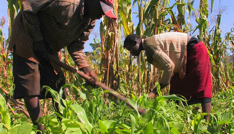 Two people tend crops in a field Footage
