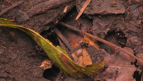 Giant ants work around the entrance to their colony Stock Video Footage
