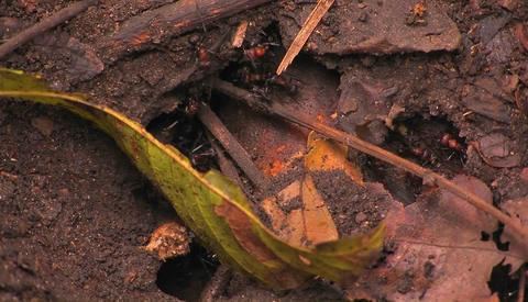 Giant ants work around the entrance to their colony Footage