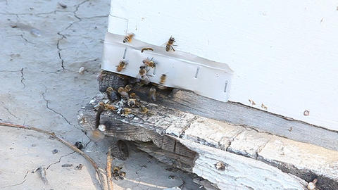 Bees gather around the entrance to their hive Stock Video Footage