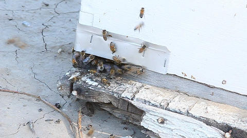 Bees gather around the entrance to their hive Footage