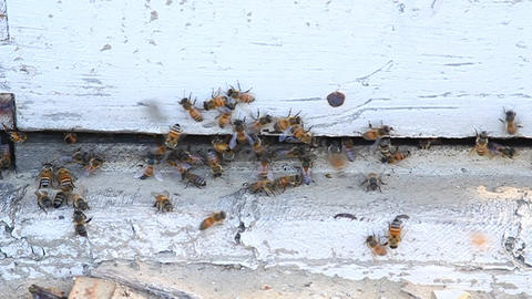 Bees are swarming around a piece of wood Stock Video Footage