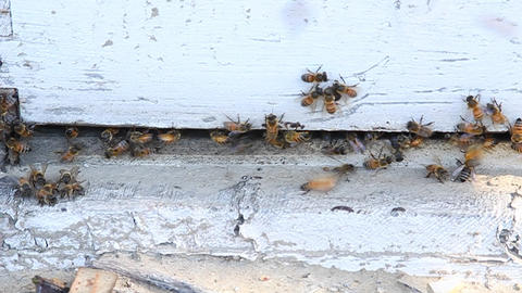 Bees are swarming around a piece of wood Footage