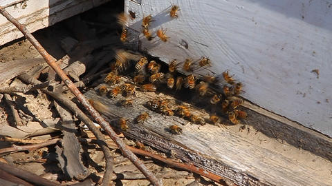 Bees swarm around wood Footage
