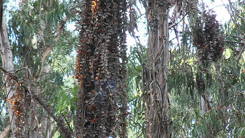 Monarch butterflies gather around a tree in a fore Footage