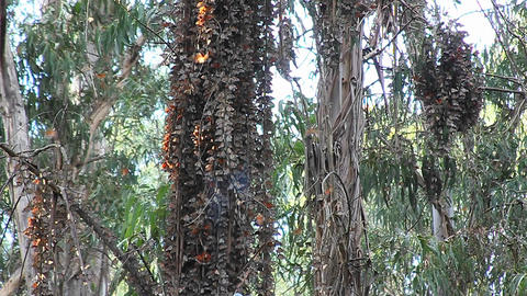 Monarch butterflies gather around a tree in a fore Stock Video Footage