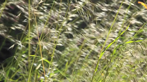A slow motion close up of grasses blowing in the w Stock Video Footage