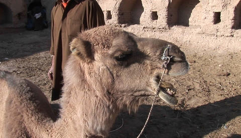 A man and a camel in Iran Footage