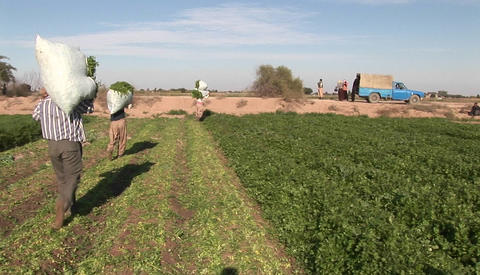 A field of crops in Iran Stock Video Footage