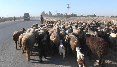 A man herds sheep near a road in Iran Stock Video Footage