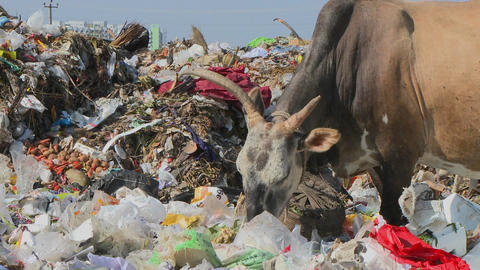 An oxen and a dog eat out of a pile of garbage Stock Video Footage