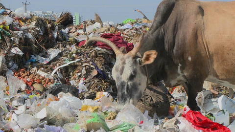 An oxen and a dog eat out of a pile of garbage Footage