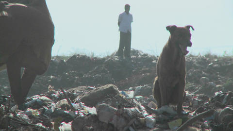 A dog and a cow in a garbage dump Footage