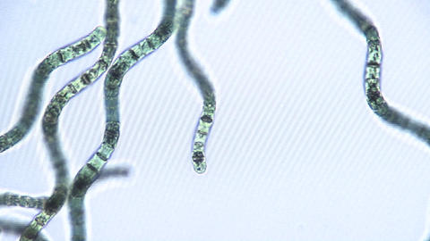 Microscopic view of algae ribbons which move by utilizing their snake shaped cellular structure, the Footage