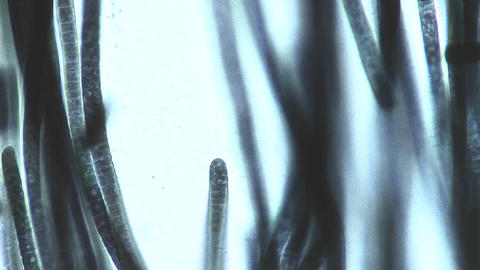 Microscopic View Of Phormidium Sp. Blue Green Algae As They Slowly Move As If Gliding Cell By Cell stock footage