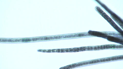 Microscopic view of Phormidium sp. blue green algae as... Stock Video Footage