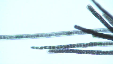 Microscopic view of Phormidium sp. blue green algae as... Stock Video Footage