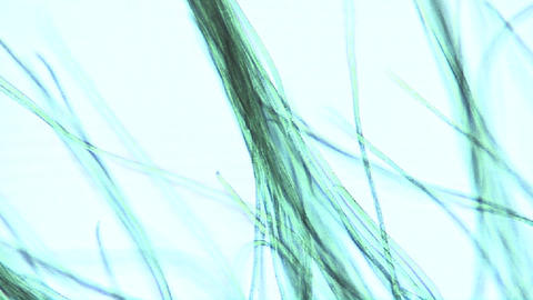 Microscopic view of algae ribbons or filaments which move... Stock Video Footage