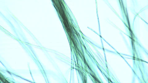 Microscopic view of algae ribbons or filaments which move their cellular structure like fine hairs Footage