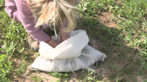 A toddler grabs a handful of oak acorns from a sack for planting in the Ojai Meadow Preserve in Ojai Footage