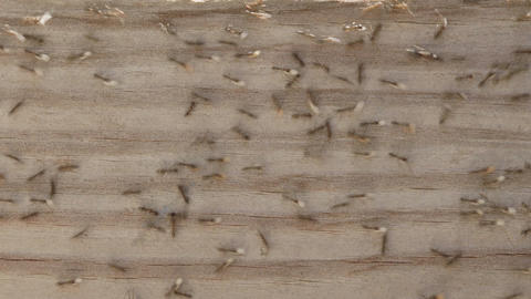 Time lapse of ants carrying eggs from their nest in Oak... Stock Video Footage