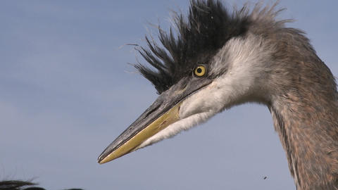Close up of a Great Blue Heron (Ardea herodias) at Lake... Stock Video Footage