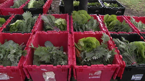 Lettuce being added to a community supported agriculture... Stock Video Footage