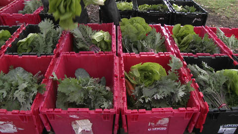 Lettuce being added to a community supported agriculture box in Ojai, California Footage